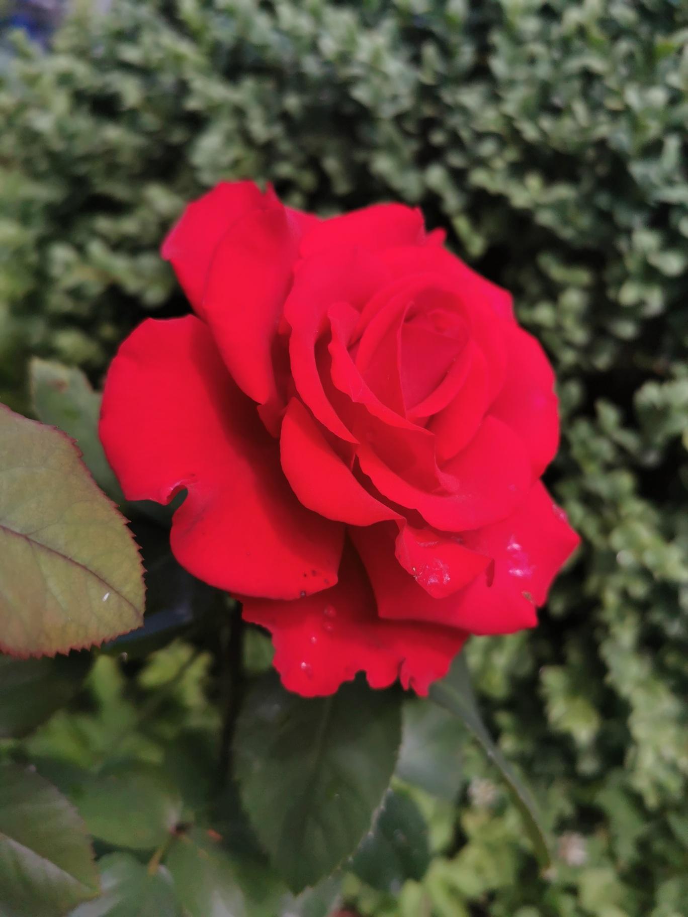 """Rožė """"Grand Amore"""""""